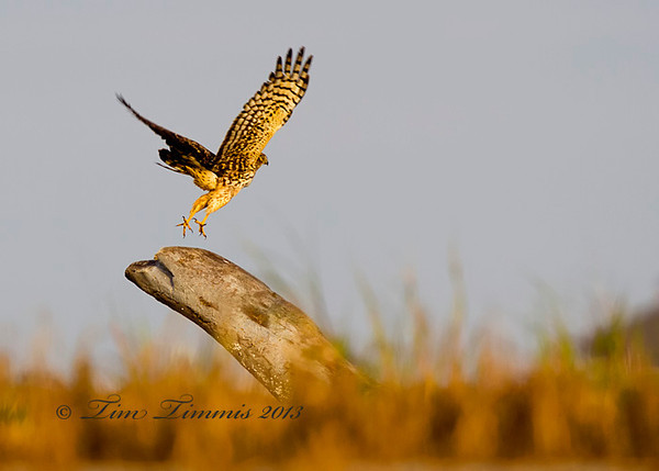 Northern Harrier talking off.  Taken while lying down on a sand bar with my ground pod and Wimberley II head.