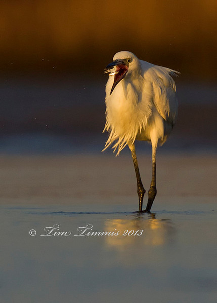 White Morph Reddish Egret flipping a fish.
