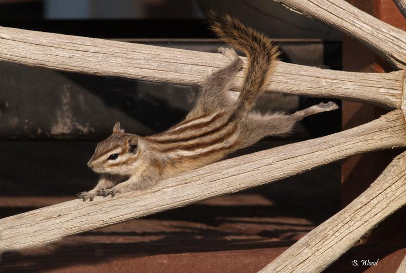 TM 9194<br /> Least Chimpmunk (Tamias minimus).<br /> <br /> Photo taken in Beaverhead Co., MT.
