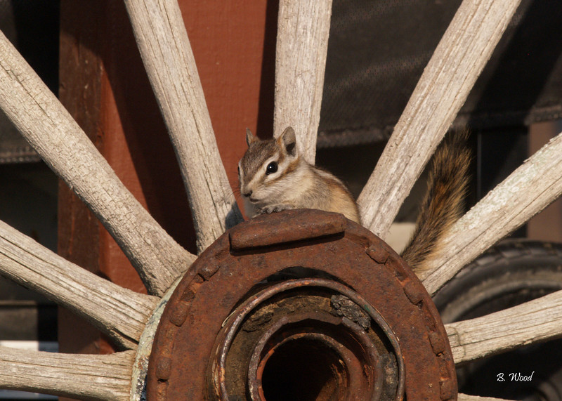 TM 9176<br /> Least Chimpmunk (Tamias minimus).<br /> <br /> Photo taken in Beaverhead Co., MT.