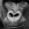 Lowland Gorilla<br /> (Gorilla gorilla)<br /> face<br /> Port Lympne, UK
