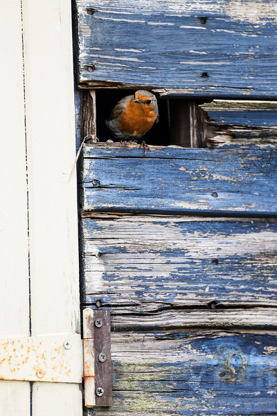 European Robin at nest in garden shed<br /> Erithacus rubecula<br /> Wiltshire, UK