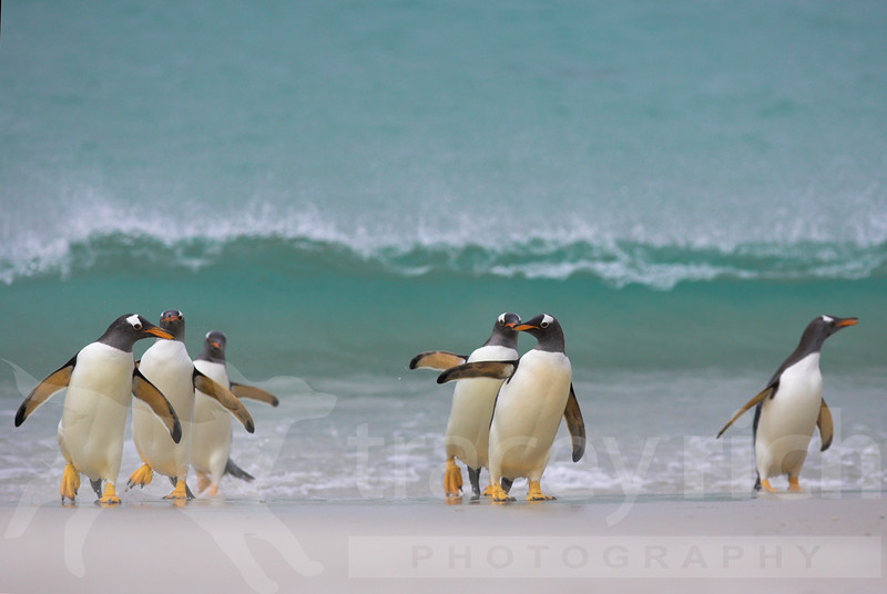 Gentoo penguins arriving on beach<br /> (pygoscelis papua)<br /> Falkland Islands