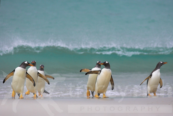 Gentoo penguins arriving on beach (pygoscelis papua) Falkland Islands
