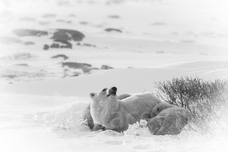 Polar bear (Ursus maritimus) mother with sleeping year-oild cubs Cape Churchill Canada