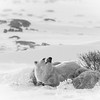 Polar bear<br /> (Ursus maritimus)<br /> mother with sleeping year-oild cubs<br /> Cape Churchill<br /> Canada