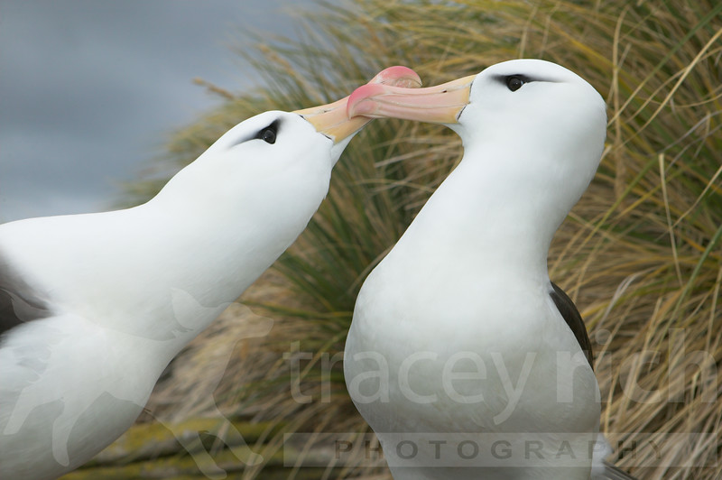 Black-browed albatross pair greeting (Diomeda melanophris) Falkland Islands