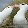 Black-browed albatross pair greeting<br /> (Diomeda melanophris)<br /> Falkland Islands