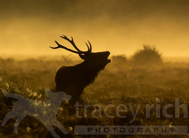 Red Deer<br /> (Cervus elaphus)<br /> stag calling during rut in morning mist<br /> New Forest, UK