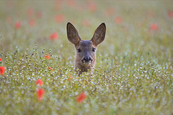Roe Deer (Capreolus capreolus) young in poppy field UK