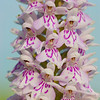 Dactylorhiza fuschii<br /> Common Spotted Orchid<br /> Hampshire<br /> UK<br /> June