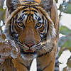 Bengal Tiger<br /> Panthera tigris<br /> hunting from tree<br /> Ranthambhore NP<br /> Rajasthan<br /> India