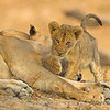 African lion<br /> Panthera leo<br /> two month-old cub stepping over legs of sleeping female<br /> South Luangwa NP<br /> Zambia
