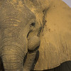 African Elephant<br /> (Loxodonta africana)<br /> South Luangwa NP<br /> Zambia