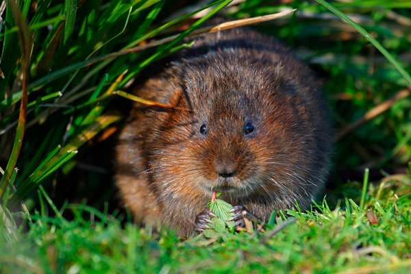Water Vole (Arvicolor terrestris) feeding on vegetation UK