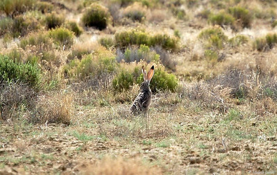 New Mexico ..... Black-tailed Jackrabbit