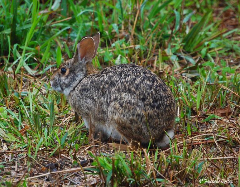 Texas -- Swamp Rabbit
