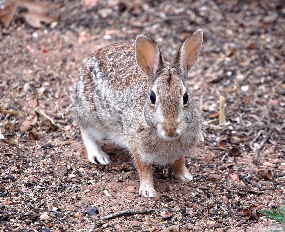 Texas ..... Cottontail Rabbit