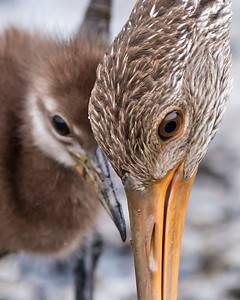 Limpkin works a mussel out of it's shell as it's chick waits patiently.