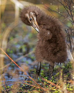 Limpkin Chick, Preening at Viera Wetlands.