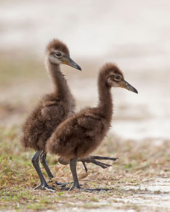 Limpkin Chicks crossing the road at Viera Wetlands.