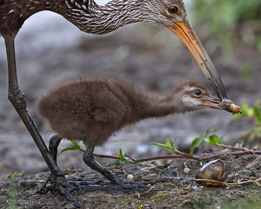 Limpkin feeding it's chick a piece of a Apple Snail.