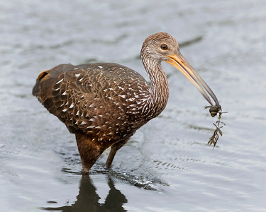 Limpkin captures an apple snail to feed the young chicks.