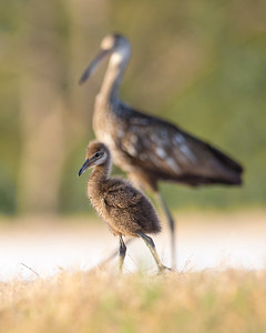 Limpkin Adult & Chick