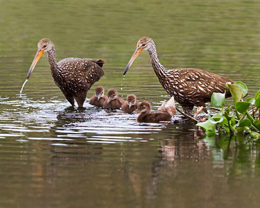 Limpkin Family, photo captured at Viera Wetlands.