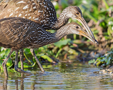 Limpkin juvenile has grown, still relies on adult for it's mussel's.