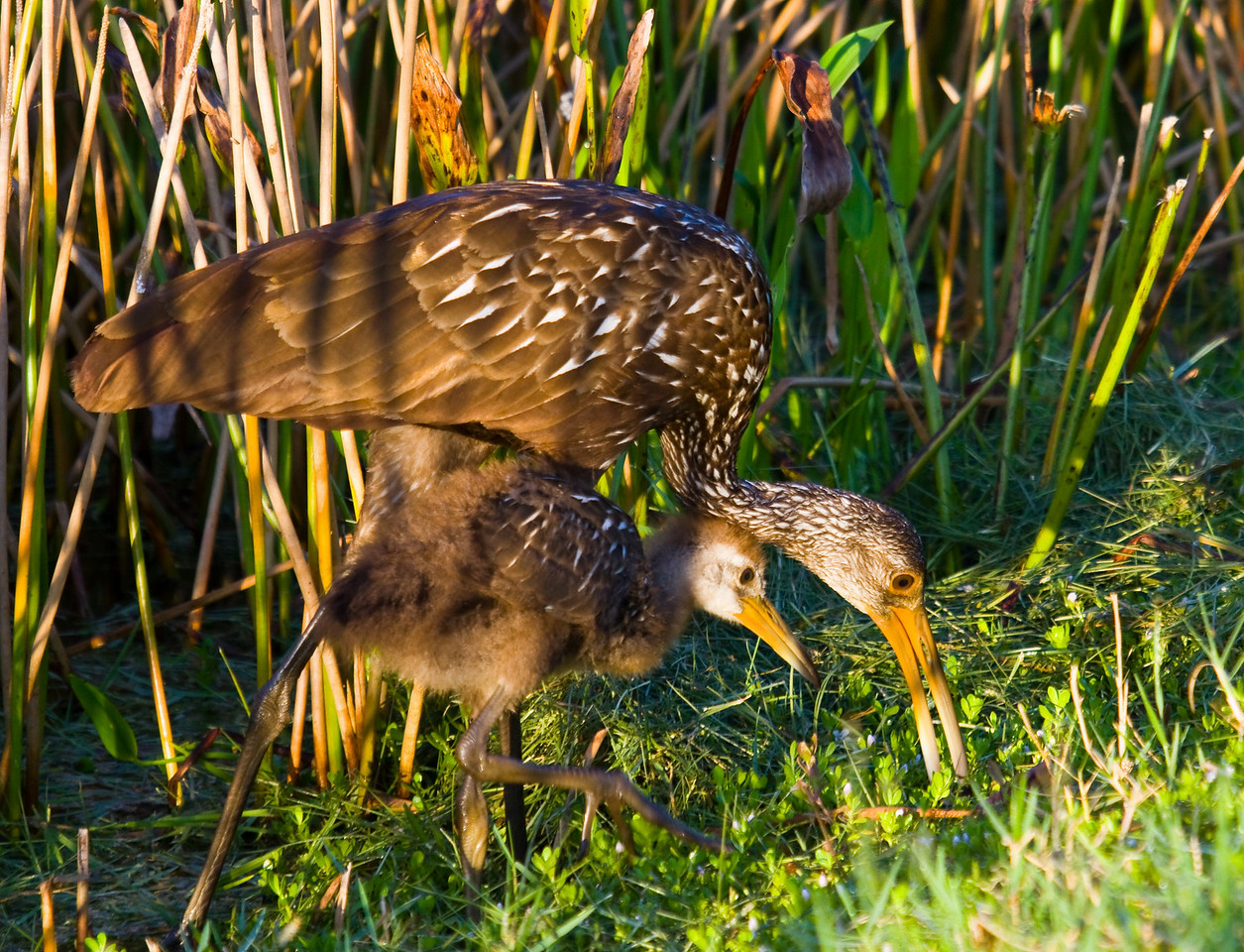 limpkin teacing baby to eat snails