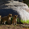 """Cubs - """"Hey - here comes dad!  Let's play!"""""""