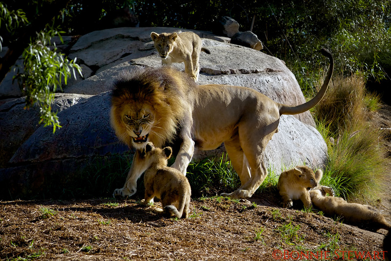"""Dad - """"Son this is the last time I am telling you to settle down!!""""<br /> Cub on the rock - """"Dad is serious Bro"""""""