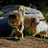 "Dad - ""Son this is the last time I am telling you to settle down!!""<br /> Cub on the rock - ""Dad is serious Bro"""