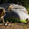 """Dad - """"I told you to settle down""""<br /> Cub on the rock - """"Really dad - you just smacked my bro!"""""""