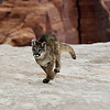 young mountain lion running on the rocks