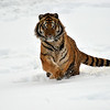 tiger playing in snow . jumping