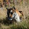 tiger still laying down