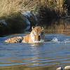 tiger slashing cold water