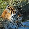 a cold swim for the tiger