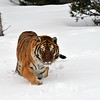 tiger looking at you in the snow