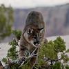 Young mountan loin  in a tree