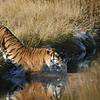 tiger jumping in water