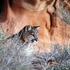 lion hiding