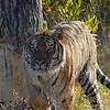 tiger by tree