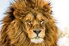 Lion 2015-41