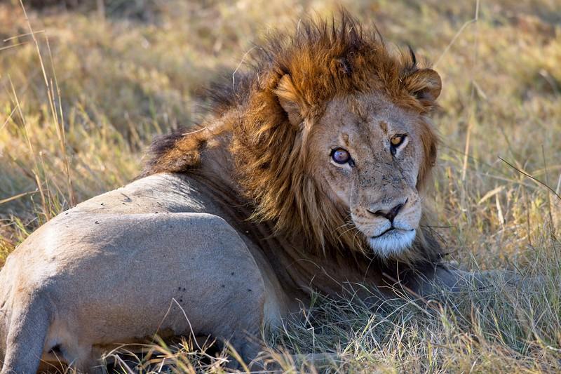 Male lion, Okavango Delta, Botswana