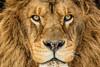 Lion, 2013-16