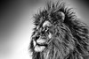 Lion, Black & White