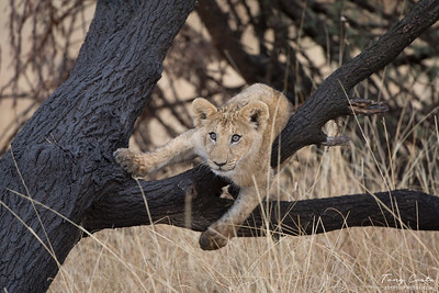 Young lion in a tree